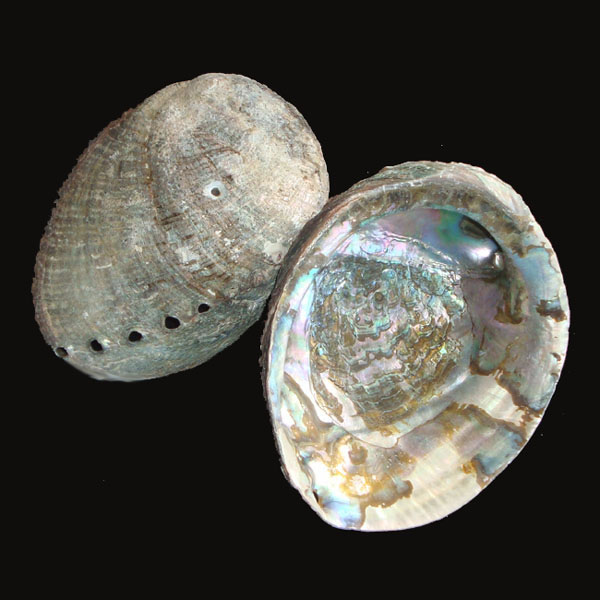 Abalone Shell - Medium