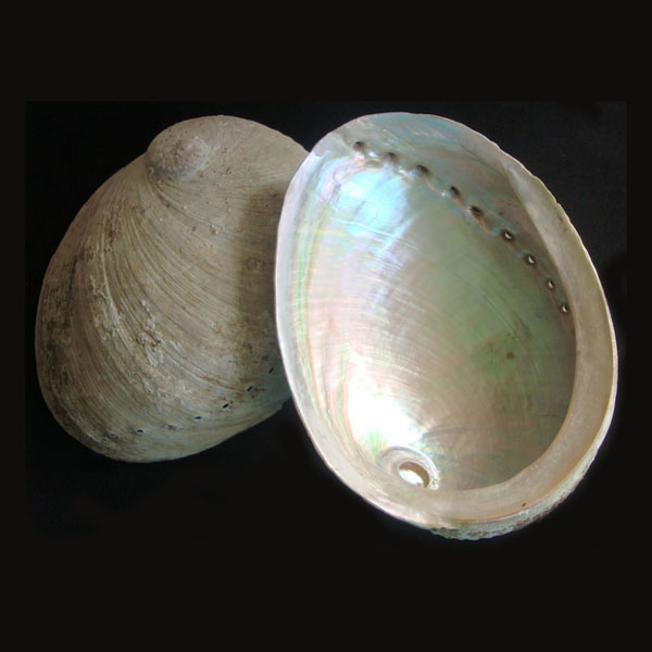 Abalone Shell - X-Large
