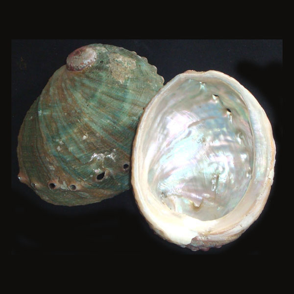 Abalone Shell - Small